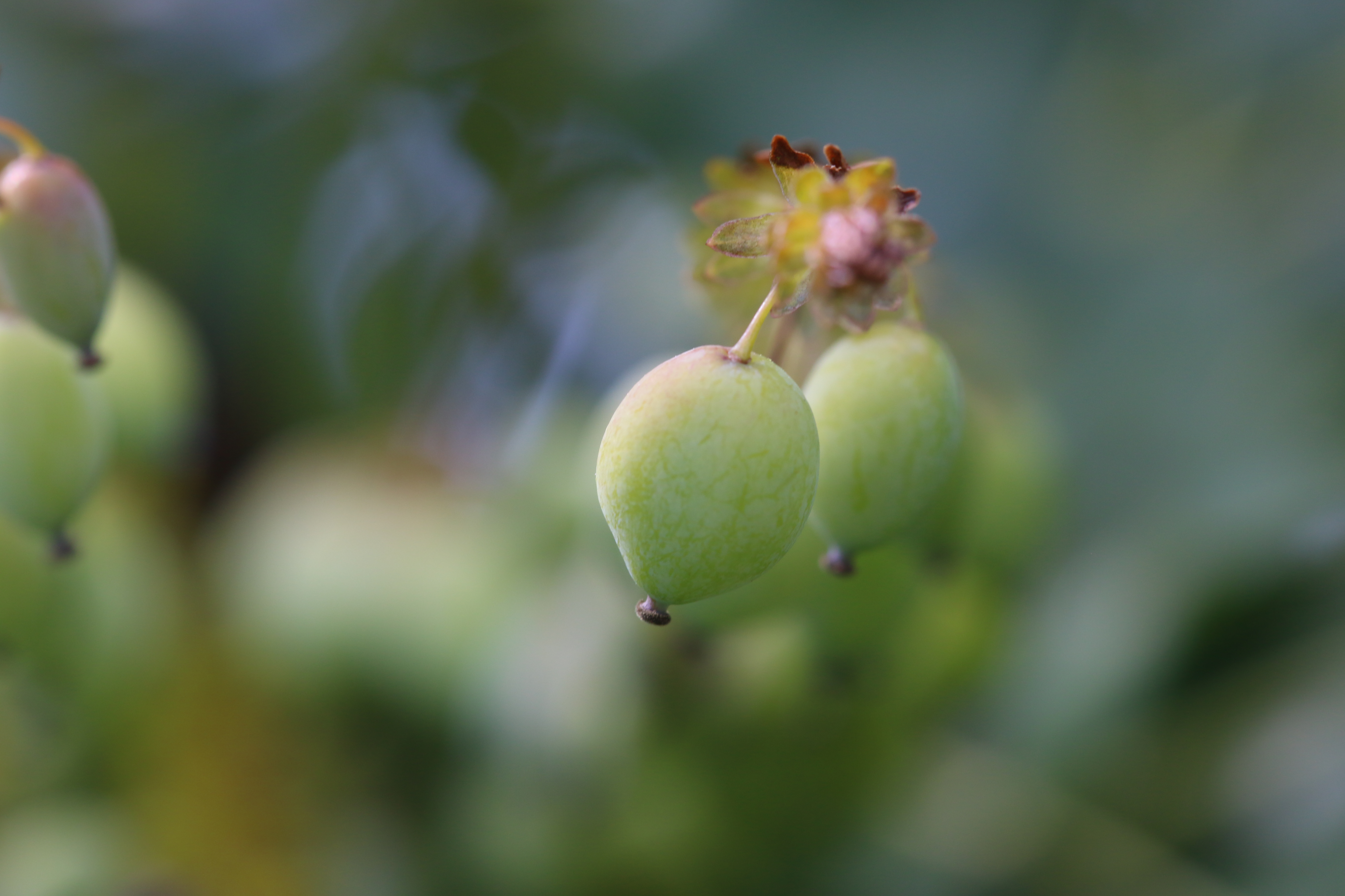 young vine buds still green