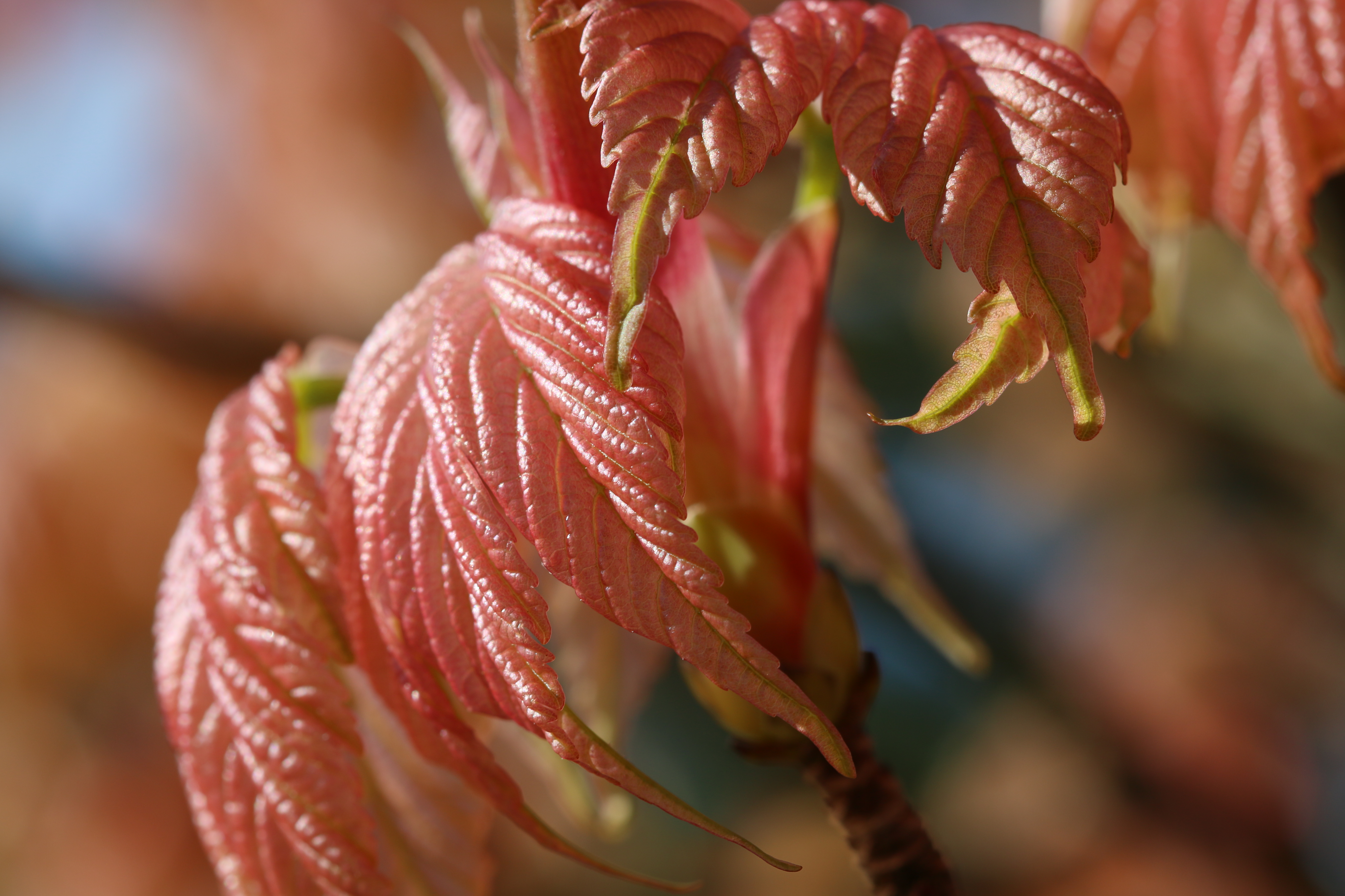 maple leaves just turning red