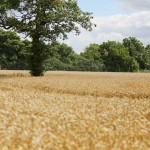 golden wheat field picture