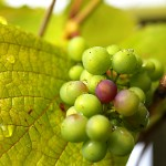 close-up shot of a grape-wine