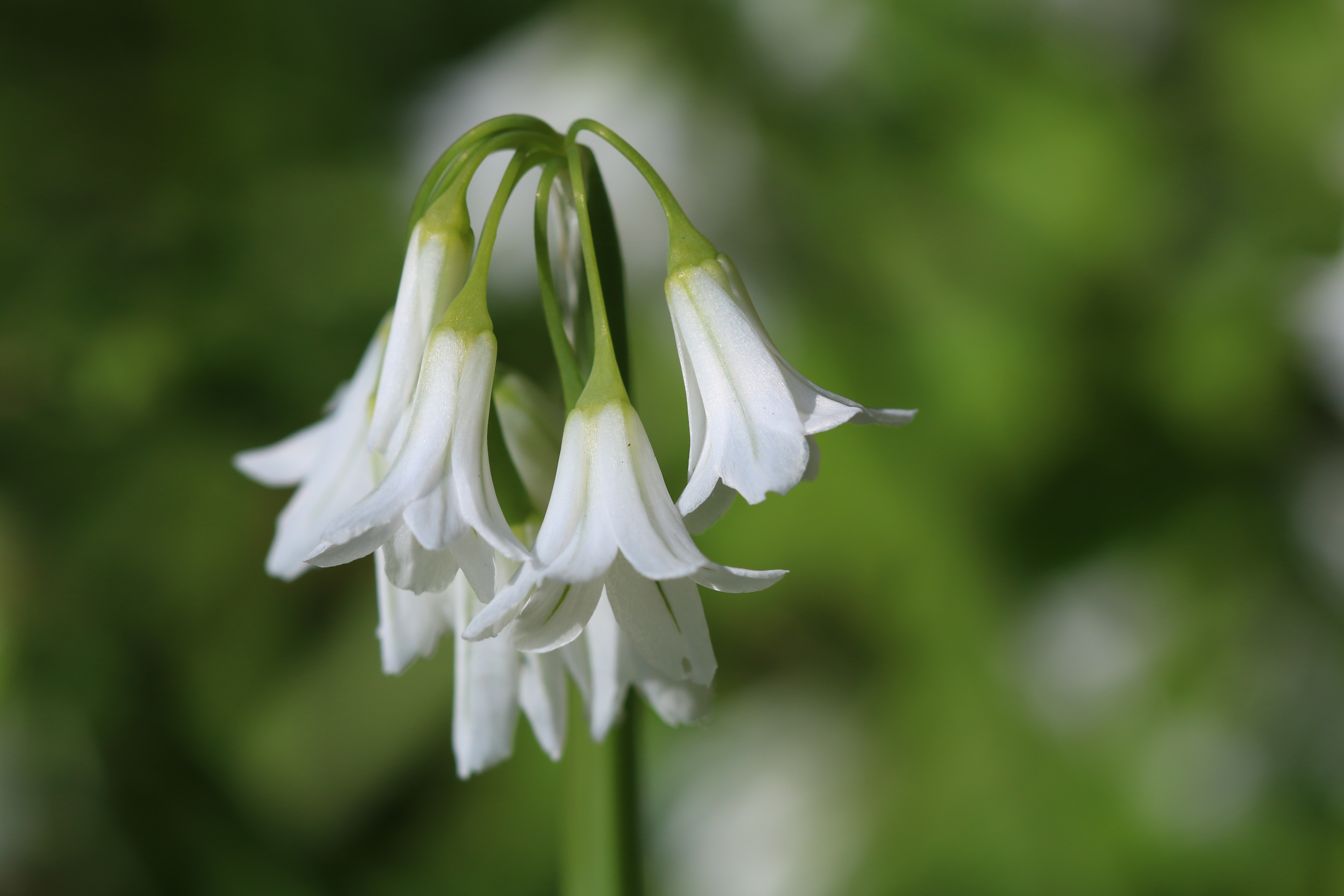white bluebells in garden