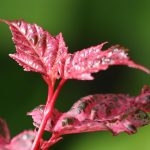 picture of red leaf